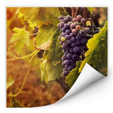 Wallprint Toskanische Weinrebe