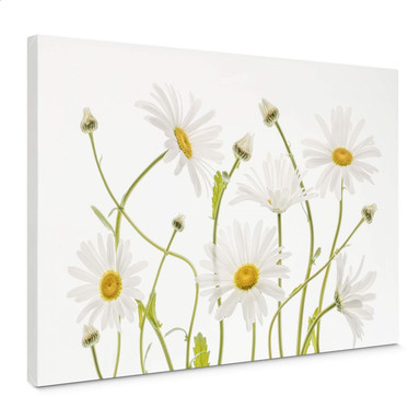 Leinwandbild Disher - Ox eye Daisies