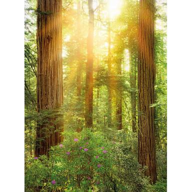 Fototapete Redwood